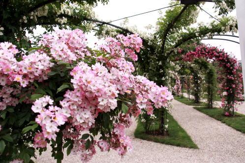 「L\'Hay-les-Roses」のバラ_c0090198_4463044.jpg