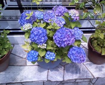 紫陽花☆_a0059209_19384959.jpg