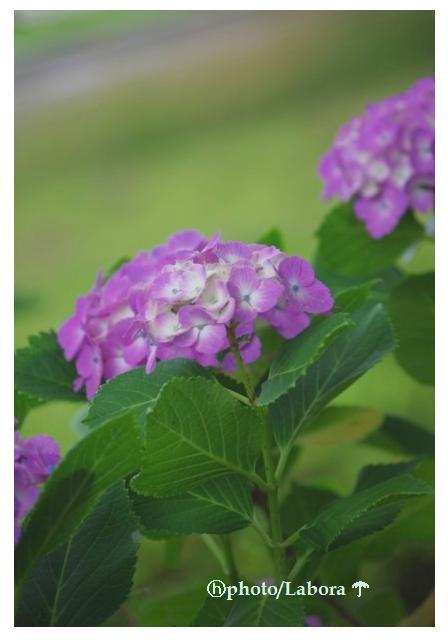 桔梗が咲いた_d0147812_1032897.jpg