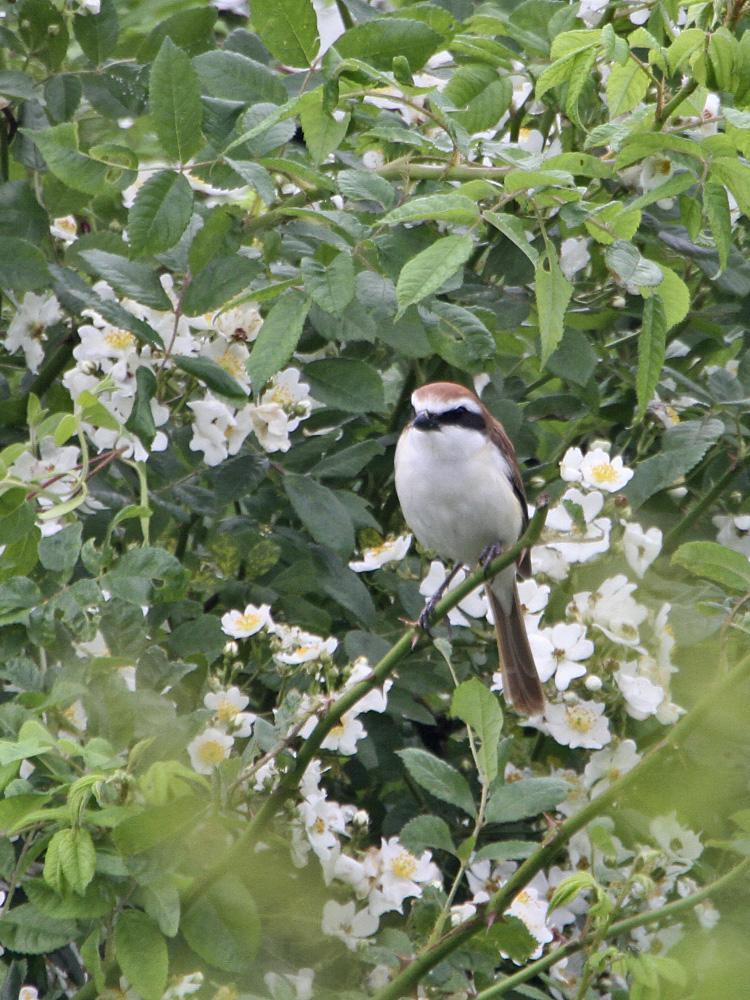 鳥バカトリオでアカモズ狙い_c0018118_16584582.jpg