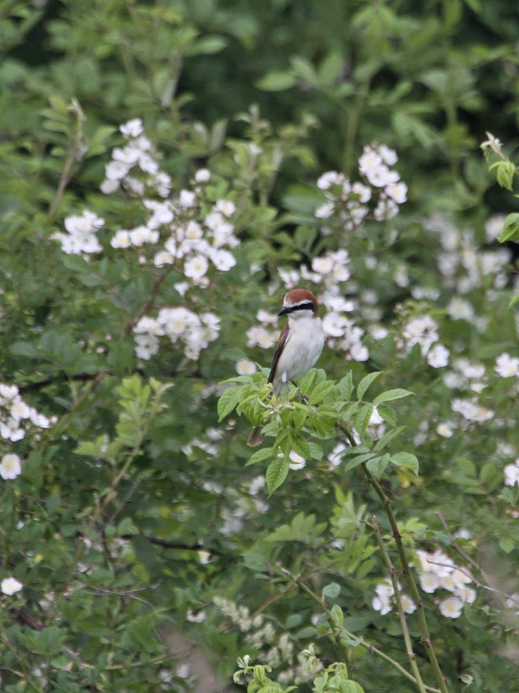 鳥バカトリオでアカモズ狙い_c0018118_1741079.jpg