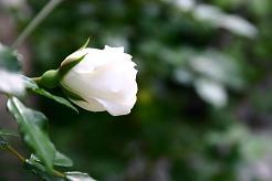 風街ろまん いい匂い 95  「僕に捧げるサンバ」_c0121570_1791577.jpg