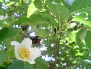 沙羅双樹の花&パソコン入院前_b0165872_1425046.jpg