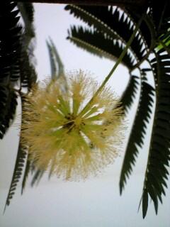 エバーフレッシュってこんな花が咲くのかぁ!!びっくり!_a0142778_1450546.jpg