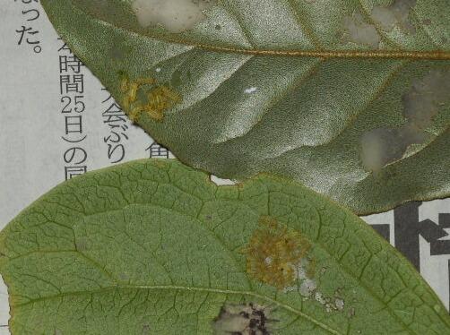 ブルーベリーの害虫、あれこれ_f0018078_1738937.jpg