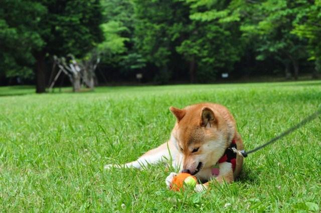 かぼちゃん、走って遊ぼうよ!_a0126590_8919100.jpg