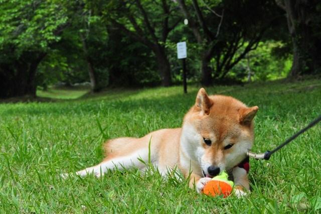 かぼちゃん、走って遊ぼうよ!_a0126590_893321.jpg