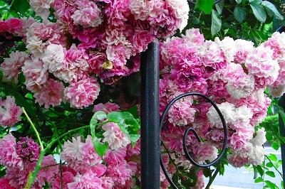 薔薇の季節 もうすこし・・・_c0207890_064116.jpg