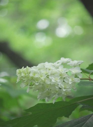 宗吾霊堂の紫陽花_d0147812_18333965.jpg