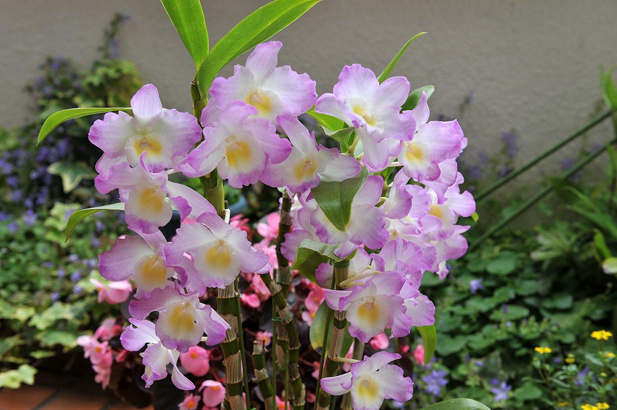 ランの花 壁紙写真_f0172619_10275195.jpg