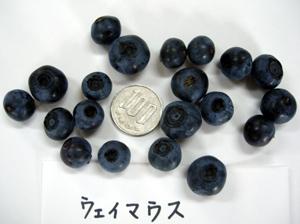 ブルーベリー収穫_e0097534_15404385.jpg