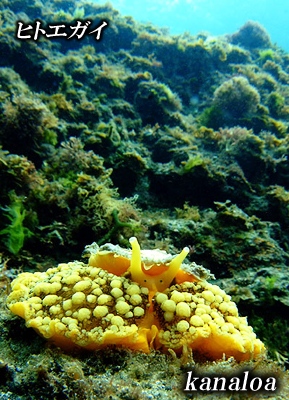 Divehouse Kanaloa  八丈島 ダイビングログ_b0189640_21392115.jpg