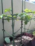 実りのヤシの木。_f0098671_11444755.jpg