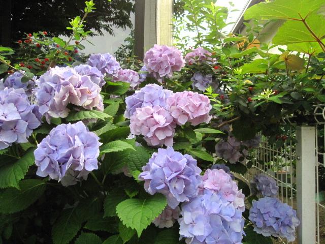 夏至と紫陽花_e0181373_2364362.jpg