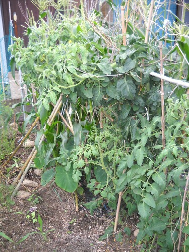 実がつかない桃太郎が脇芽で出直し&トマトあれこれ _f0018078_19452315.jpg