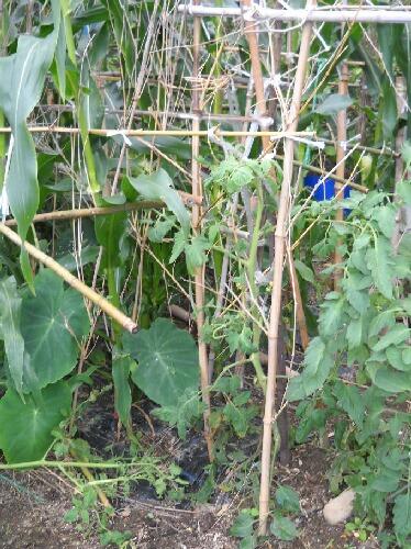 実がつかない桃太郎が脇芽で出直し&トマトあれこれ _f0018078_19453547.jpg
