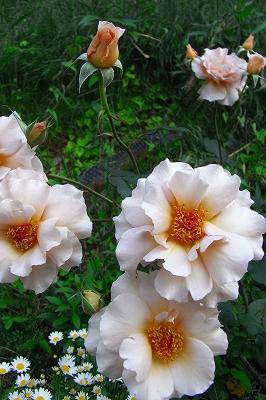 薔薇の季節 もうすこし・・・_c0207890_071476.jpg