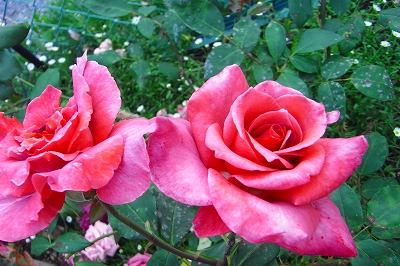 薔薇の季節 もうすこし・・・_c0207890_074767.jpg