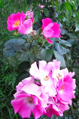 薔薇の季節 もうすこし・・・_c0207890_081278.jpg