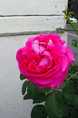 薔薇の季節 もうすこし・・・_c0207890_083995.jpg