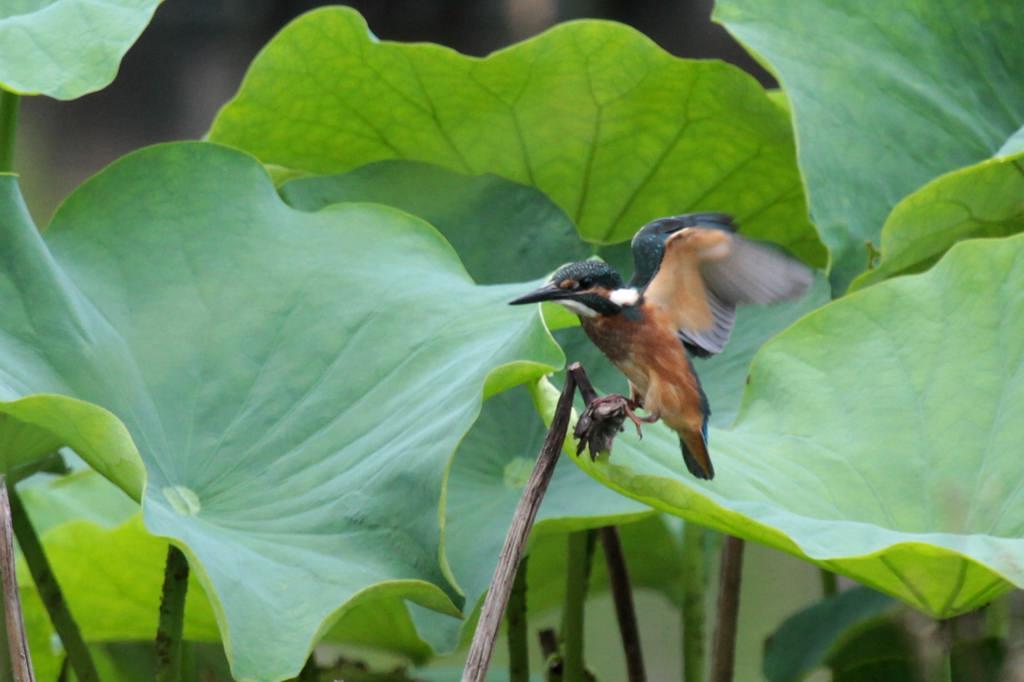 幼鳥の飛び付き/我が町のホタル_b0024798_581385.jpg