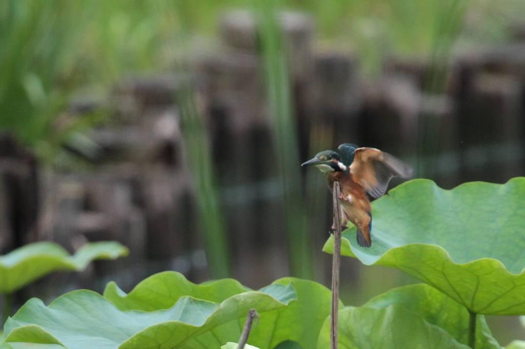 幼鳥の飛び付き/我が町のホタル_b0024798_583063.jpg