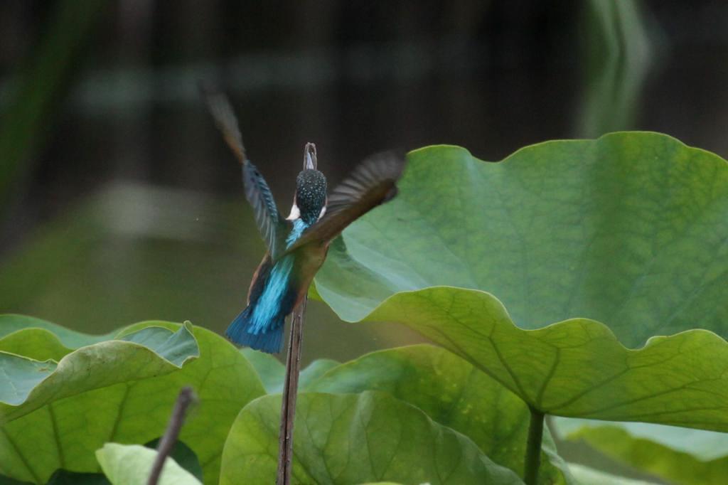 幼鳥の飛び付き/我が町のホタル_b0024798_585366.jpg