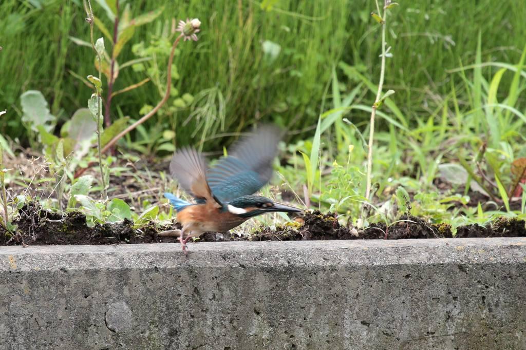 幼鳥の飛び付き/我が町のホタル_b0024798_59576.jpg