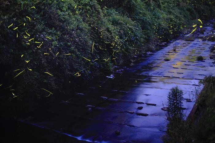 熊本市のホタル_e0135098_719136.jpg