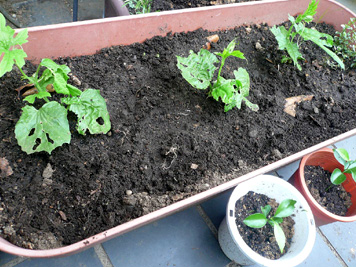 ニガウリ定植と犬のチューインガム_d0020309_9415760.jpg