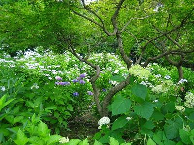 紫陽花のお庭_b0100229_12483679.jpg