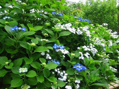 紫陽花のお庭_b0100229_12501952.jpg