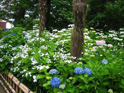 紫陽花のお庭_b0100229_12512676.jpg
