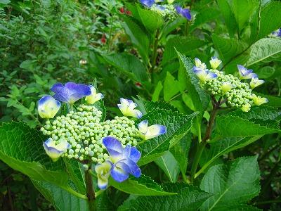 紫陽花のお庭_b0100229_12534018.jpg