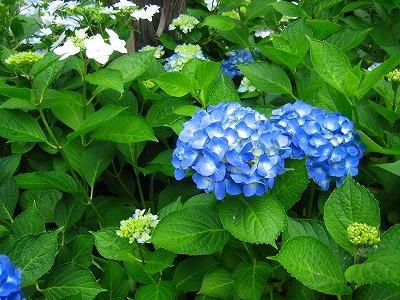 紫陽花のお庭_b0100229_12543937.jpg