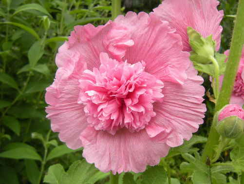可愛いピンクの ホリホックです~_d0145675_20285385.jpg