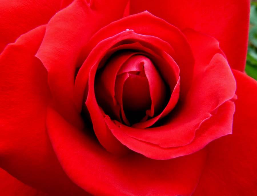 家の周りの「薔薇の花」です。_f0150893_19245019.jpg