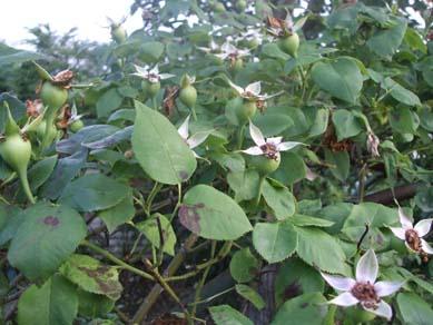バラの咲殻摘み_e0187897_21295761.jpg