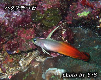 Divehouse Kanaloa  八丈島 ダイビングログ_b0189640_21593151.jpg