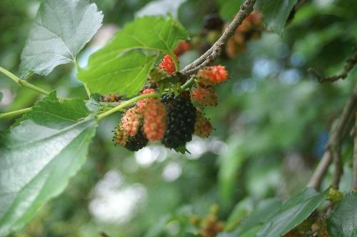 桑の実も 食べ頃です。_f0114346_21482762.jpg