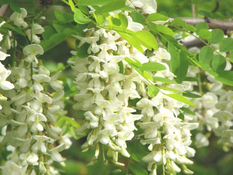 ニセアカシアの花と死んだコザル  6月15日 2010年_e0005362_8372421.jpg