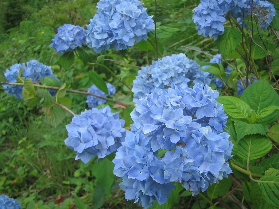 紫陽花の咲く頃に・・・_f0085369_6271438.jpg