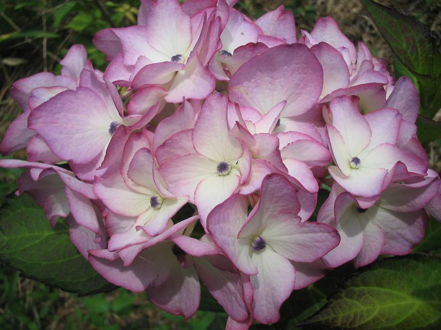 紫陽花の咲く頃に・・・_f0085369_627549.jpg