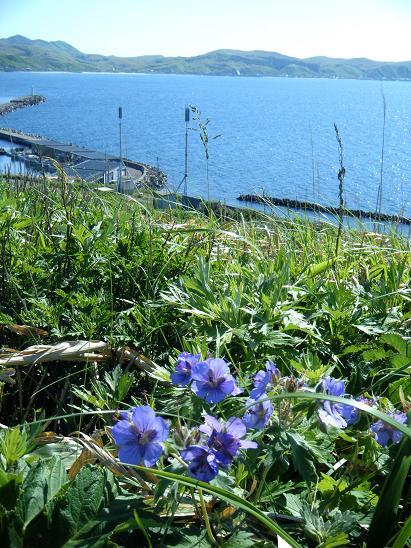 花が咲く礼文空港_e0120026_21375155.jpg