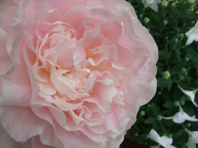 オークリーフ(かぐや姫とピンクファーの花束)_f0049672_11135635.jpg