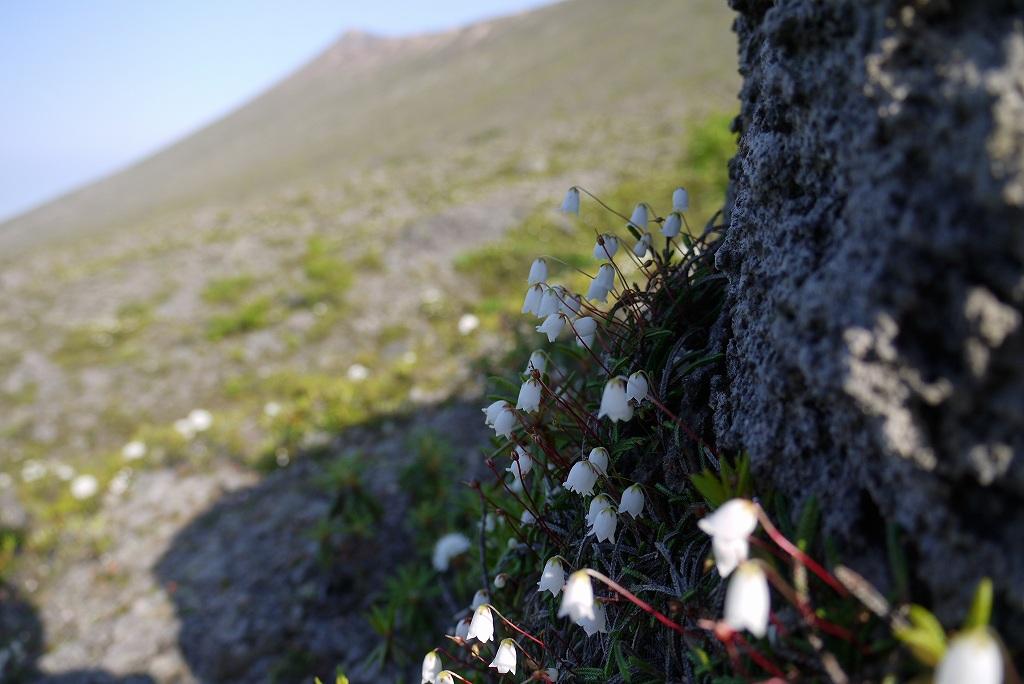 6月22日、樽前山の花-イワヒゲ-_f0138096_10232195.jpg