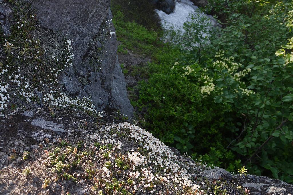 6月22日、樽前山の花-イワヒゲ-_f0138096_10233284.jpg
