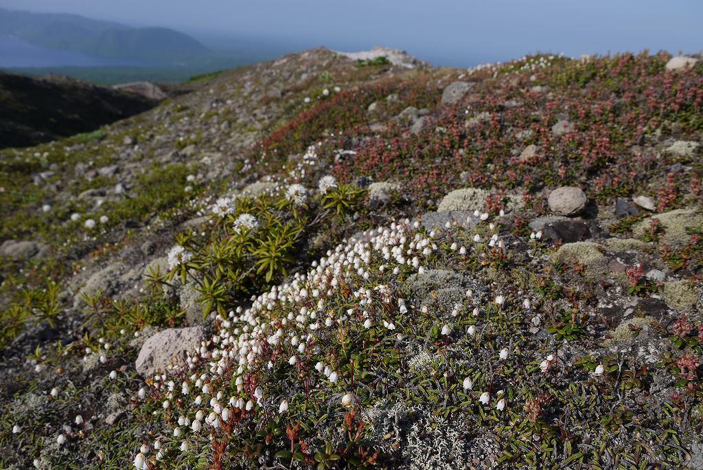 6月22日、樽前山の花-イワヒゲ-_f0138096_1023976.jpg