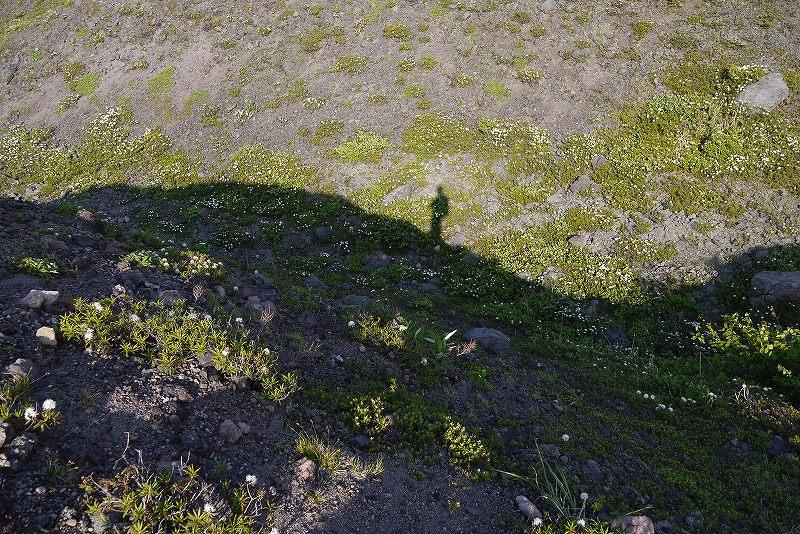 6月22日、樽前山の花-イワヒゲ-_f0138096_10243096.jpg