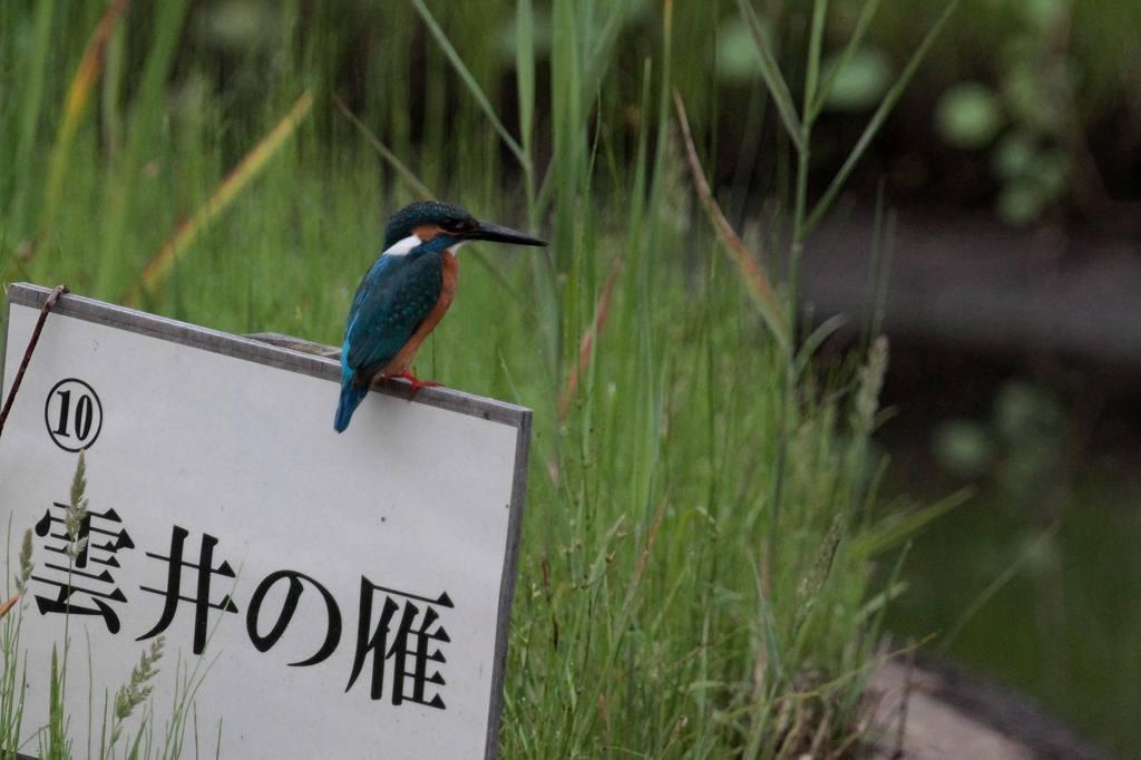 公園の池に新住人(鳥)/動画・羽繕いするアマサギ_b0024798_542467.jpg